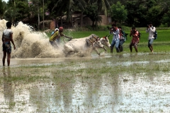 Cow Race at West Bengal 2013